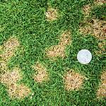 grass diseases in berks